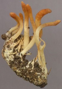 Cordyceps sinensis.